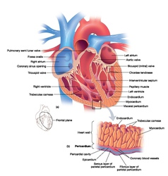 Heart diagram vector image