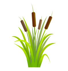 water reed plant cattails green leaf vector image