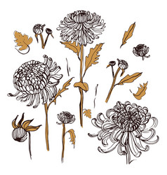 Japanese chrysanthemum set collection with hand vector