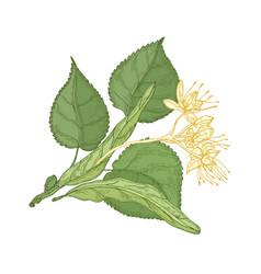 Gorgeous botanical drawing linden sprig vector