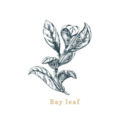 bay leaf sketch drawn spice herb vector image