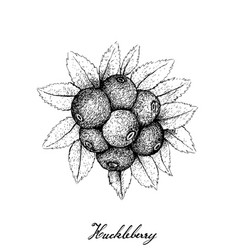 Berry fruit hand drawn sketch of huckleberries vector