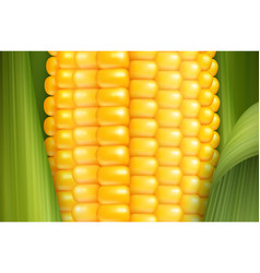 Realistic corn background vector
