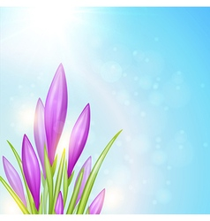 Spring background with violet crocuses vector