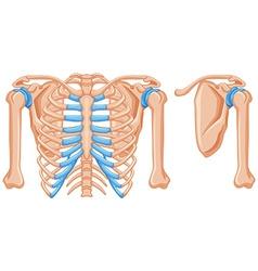 Structure of shoulder bones vector image