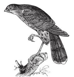 Sharp-shinned hawk engraving vector image