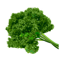 Bunch of parsley on a white background vector