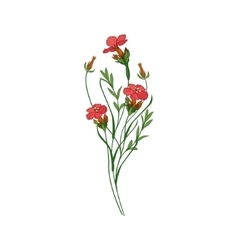 Sweet William Wild Flower Hand Drawn Detailed vector image