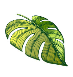Monstera tropical exotic leaf color hand drawn vector