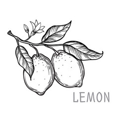 vintage lemon tree sketch vector image