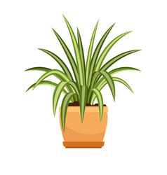 chlorophytum house plant in flower pot vector image