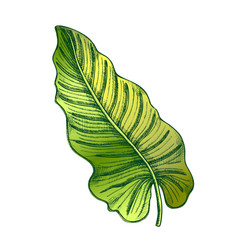 Philodendron melanochrysum color leaf hand drawn vector