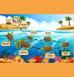 life cycle of the sea turtle vector image
