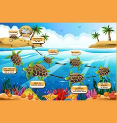 life cycle sea turtle vector image