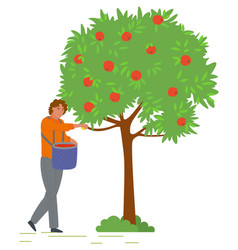 Man collects apples from tree in bucket vector