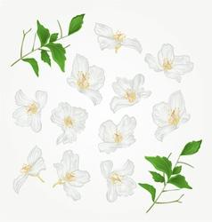 Jasmine flowers with twigs set vector image