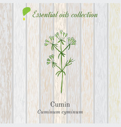 Cumin essential oil label aromatic plant vector