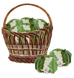 Wicker basket full fresh cauliflower vector
