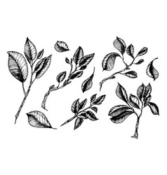leaves collection in engraving styles vector image