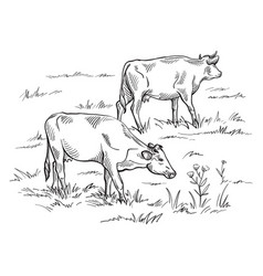 Cows grazing on meadow hand drawn vector