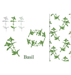 basil hand drawn vector image