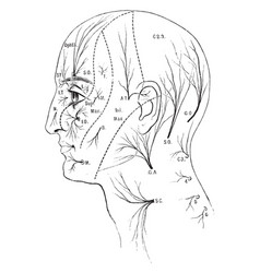Sensory nerves to the head and neck vintage vector