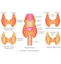 Thyroid gland vector