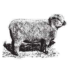 Shropshire ewe vintage vector