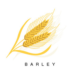 Barley ear infographic with vector