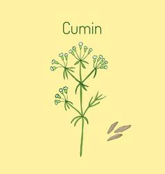 aromatic plant cumin vector image