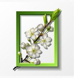 branch white cherry flowers in green frame vector image