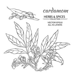 Cardamom set vector