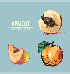 Digital detailed apricot hand drawn vector