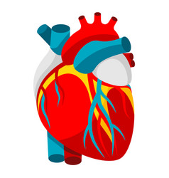 Human heart object for medicine vector