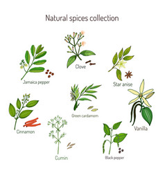 Natural spices collection vector