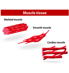 Types of muscle tissue vector image