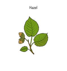 Hand drawn hazelnut branch vector