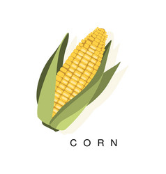corn ear infographic with realistic vector image