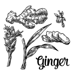 Ginger Root root cutting leaves flower buds vector