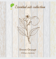 Sweet orange essential oil label aromatic plant vector