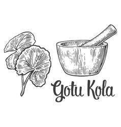 Gotu kola - medicinal plant vintage vector image