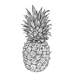 hand drawn fresh pineapple vector image