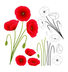 Papaver rhoeas or common poppy corn poppy vector