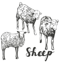sheep set hand drawn realistic vector image