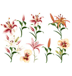 collection of realistic flowers of lilies vector image