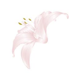 white lily flower lilium candidum editable vector image