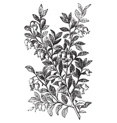 Bilberry whortleberry engraving vector image
