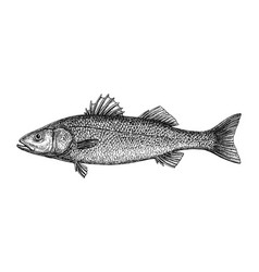 ink sketch of european bass vector image