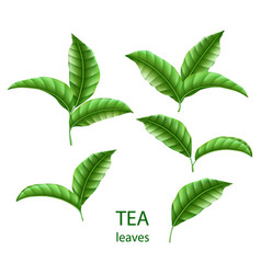 set of realistic green tea leaves isolated green vector image