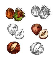 Hazelnut nuts sketch icons vector